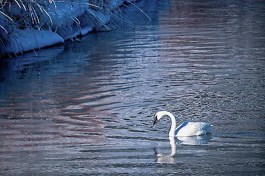 Swan Studying Reflection by Barbara Hayton