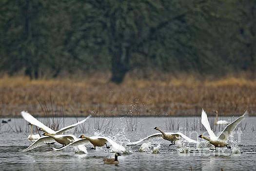 Swan Takeoff by Natural Focal Point Photography