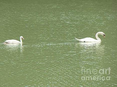 Swans  by Cybele Chaves