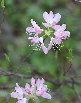 Sweet Azalea 19 by Cathy Lindsey