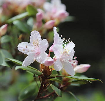 Sweet Azalea by Cathy Lindsey