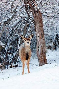 Steve Krull - Sweet Curious Doe in the Snow