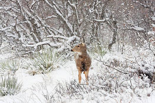 Steve Krull - Sweet Doe in the Snow