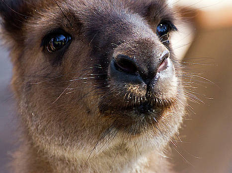 Sweet Face Of Kangaroo Island Kangaroo by Miroslava Jurcik