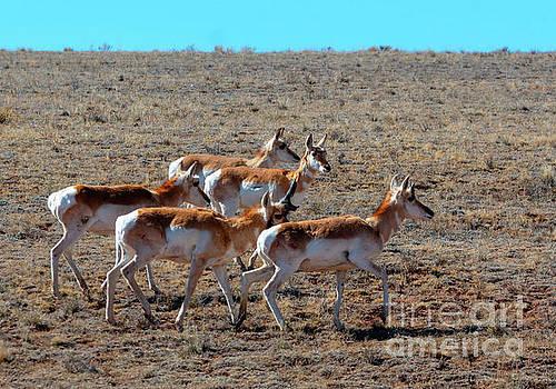 Steve Krull - Sweet Herd of Pronghorn Antelope