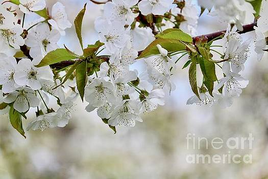 Sweet White Cherry Blossoms by Carol Groenen