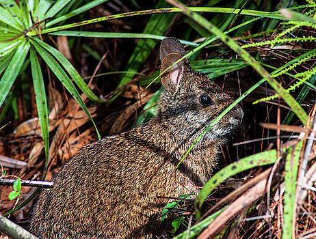Sylvilagus Palustris by Norman Johnson