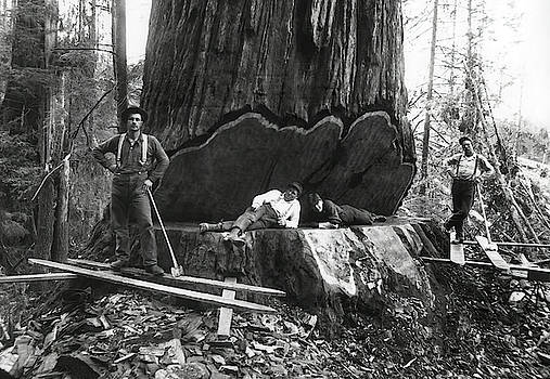 Daniel Hagerman - TAKING DOWN a GIANT SEQUOIA c. 1890