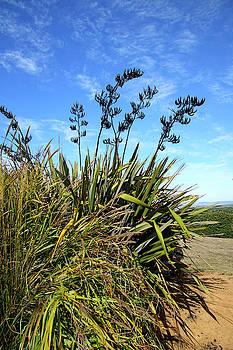 Tall pampas grass on a dune by Steve Estvanik