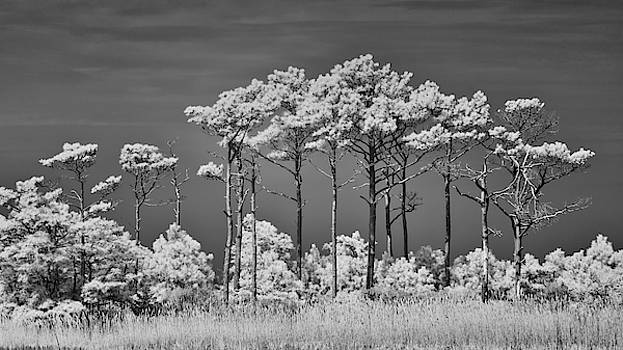 Tall Pine Trees at Gordon Pond by Jerry Fornarotto