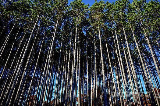 Tall Pines - 7835a by Debra Kewley