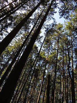 Tall Trees  - Washington by Marie Jamieson
