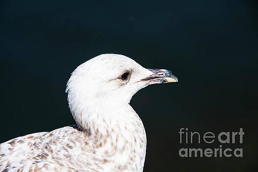 Bob Phillips - Tallaght Gull Portrait