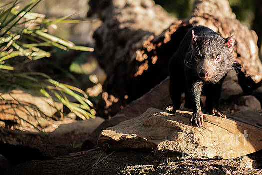 Tasmanian Devil outside during the day in Tasmania. by Rob D