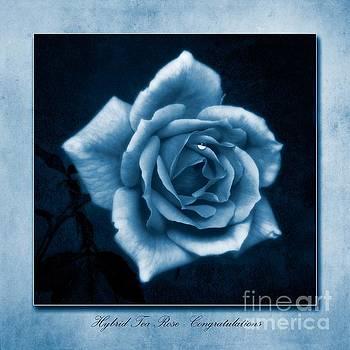 Tea Rose Cyanotype by John Edwards