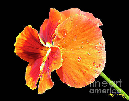 Tearful Pansy by Mariarosa Rockefeller