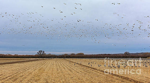 Ten Thousand Snow Geese by Susan Warren