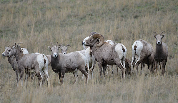 Tending the Flock by Whispering Peaks Photography