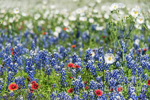 Texas Bluebonnets by Paul Quinn
