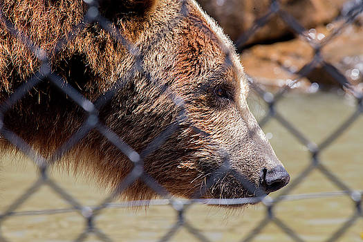 The Bear in the Cage by David Stasiak