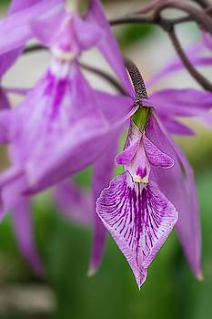 The beautiful orchid by Silvia Marcoschamer