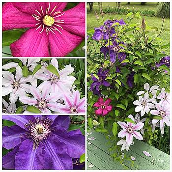 The Beauty and Color of Clematis by Kathy Clark