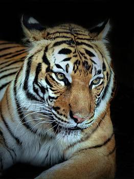 The Big Tiger by Savannah Gibbs