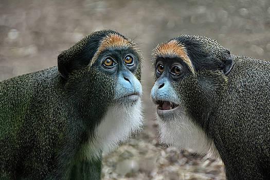 the De Brazza's monkeys by Joachim G Pinkawa