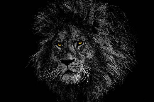 The face of the lion by Vicen Photography