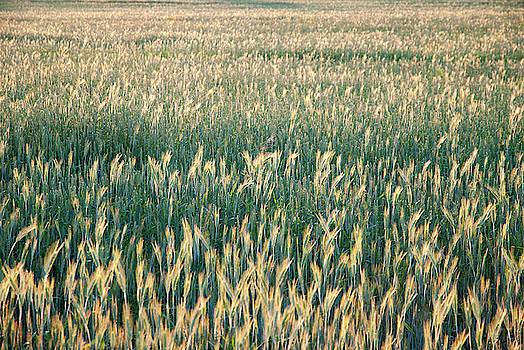 Ramunas Bruzas - The Field of Gold