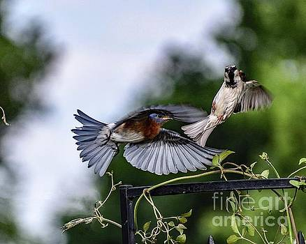 The Flight Dance Of The Eastern Bluebird And House Sparrow by Cindy Treger