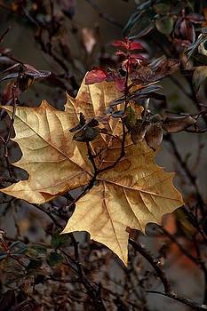 The Golden Leaf by Annette Persinger