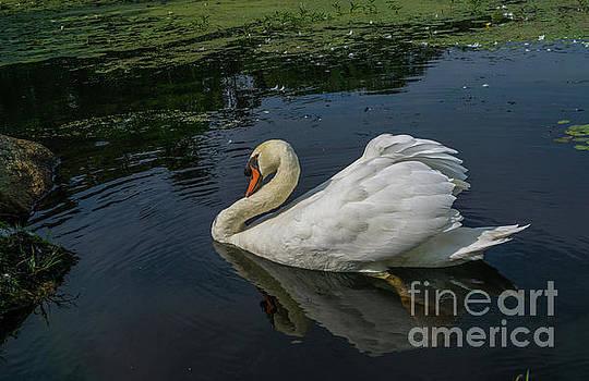 The Incredible Papa Swan by Linda Howes