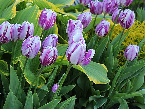The Joy of Spring - Tulips in White and Purple by Dora Sofia Caputo Photographic Design and Fine Art