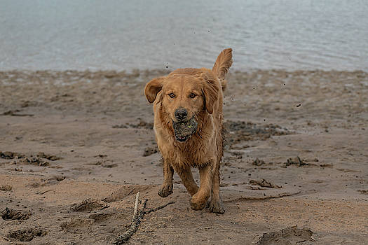 Golden Retriever at the Beach by Constance Puttkemery