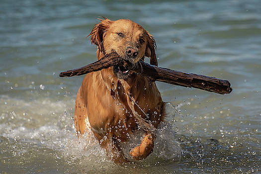 The Life of a Golden Retriever by Constance Puttkemery