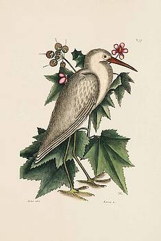 The Little White Heron  The Natural History of Carolina  Florida  and the Bahama I  by Mark Catesby