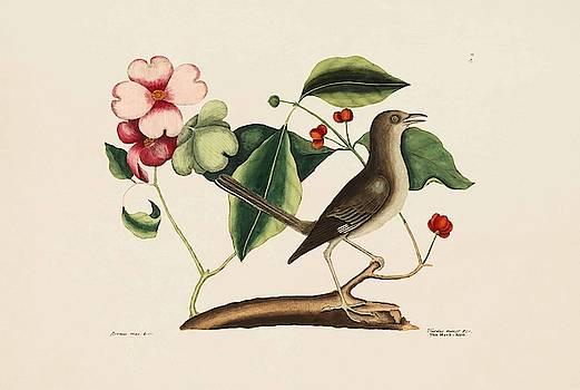 The Mock bird  The Dogwood Tree  The Natural History of Carolina  Florida   by Mark Catesby