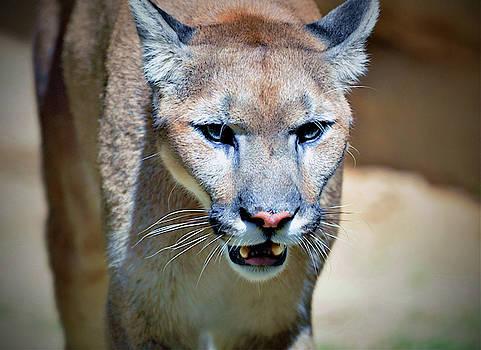 The mountain lion by Savannah Gibbs