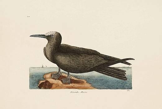 The Noddy  The Natural History of Carolina  Florida  and the Bahama Islands  by Mark Catesby