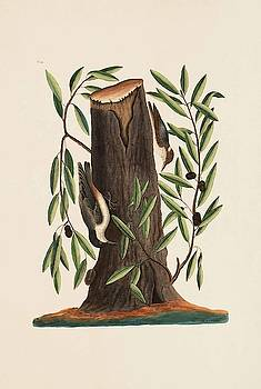 The Nuthatch  The Small Nutchatch  The Highland   by Mark Catesby
