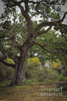 The Old Oak Tree by Mitch Shindelbower