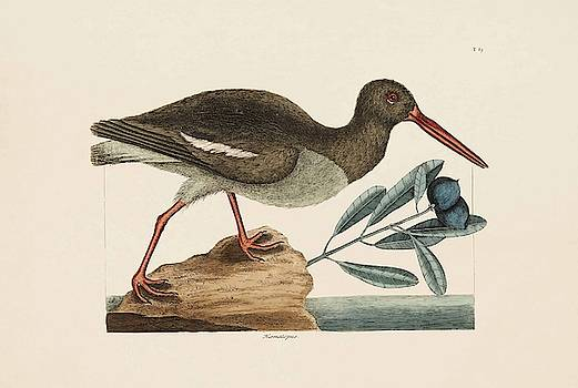The Oyster Catcher  The Natural History of Carolina  Florida  and the Bahama Islands  by Mark Catesby