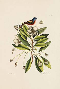The Painted Finch  The Loblolly Tree  The Natural History of Carolina  by Mark Catesby