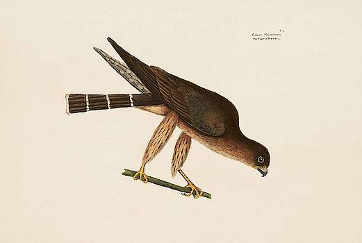 The Pigeon Hawk  The Natural History of Carolina  Florida  and the Bahama Islands  by Mark Catesby