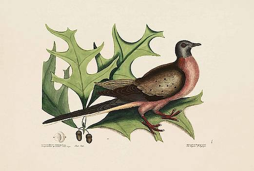 The Pigeon of Passage  The Red Oak  The Natural History of Carolina  Fl  by Mark Catesby