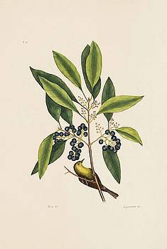 The Pine Creeper  The Purple Berried Bay  The Natural History of   by Mark Catesby