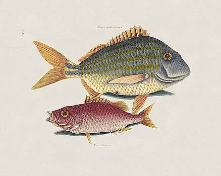 The Pork Fish and the School Master  The Natural History of Carolina   by Mark Catesby