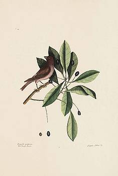 The Purple Finch  The Tupelo Tree  The Natural History of Carolina  Flor  by Mark Catesby