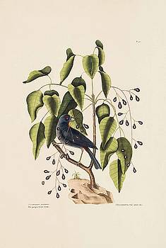 The Purple Gross beak  The Poison Wood  The Natural History of Caro  by Mark Catesby